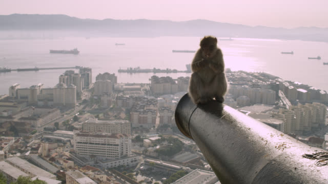 barbary macaque (macaca sylvanus) sits on cannon, rock of gibraltar - fortress stock videos & royalty-free footage