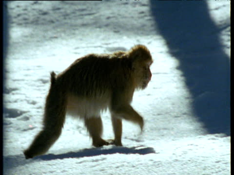 barbary macaque walks through snowy forest - macaque stock videos and b-roll footage