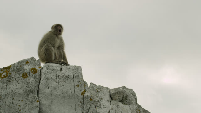Barbary macaque (Macaca sylvanus) yawns on Rock of Gibraltar