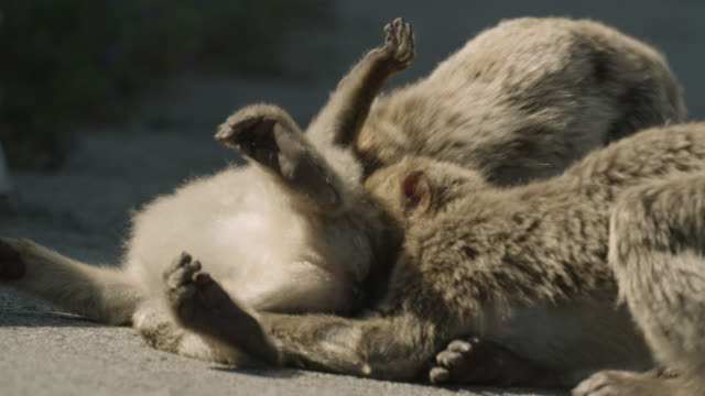 barbary macaques (macaca sylvanus) play fight on rock of gibraltar - macaque stock videos & royalty-free footage