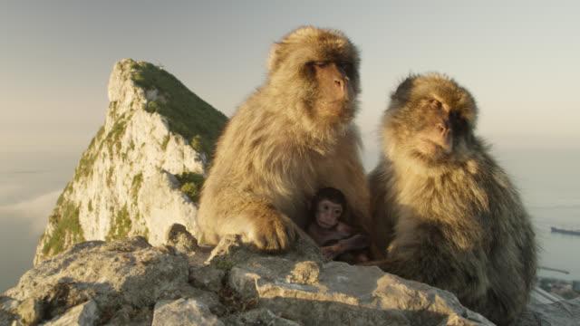 barbary macaques (macaca sylvanus) with baby at sunrise, rock of gibraltar - gibraltar bildbanksvideor och videomaterial från bakom kulisserna