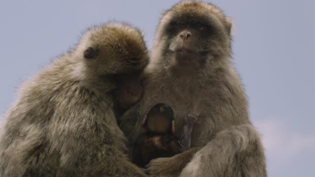 vídeos y material grabado en eventos de stock de barbary macaques (macaca sylvanus) with baby on rock of gibraltar - grupo de animales