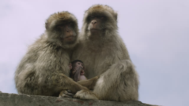 barbary macaques (macaca sylvanus) with baby on rock of gibraltar - macaque stock videos & royalty-free footage
