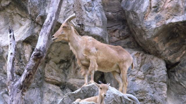vídeos de stock e filmes b-roll de barbary sheep standing on cliff rocky mountains - penhasco caraterísticas do território