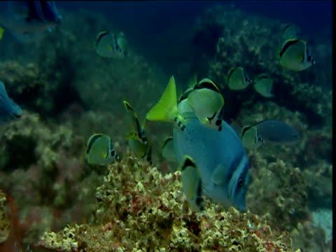 Barberfish (Heniochus nigrirostris), pacific creole fish (Paranthias colonus) and yellowtail sawfish swim over coral reef, Galapagos