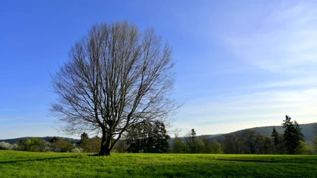 stockvideo's en b-roll-footage met bare beech tree in spring, heimbuchentahl, spessart, bavaria, germany - bare tree