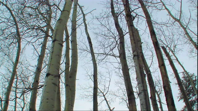 ws la pan bare birch tree tops against clear sky, poplar river, manitoba, manitoba - taiga stock videos and b-roll footage