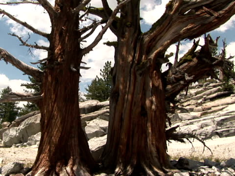 vídeos de stock e filmes b-roll de cu, tu bare bristlecone pine tree, high country, yosemite national park, california, usa - bare tree