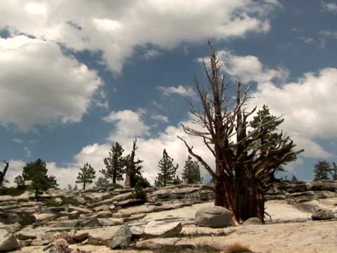vídeos y material grabado en eventos de stock de ms, zi bare bristlecone pine tree, high country, yosemite national park, california, usa - bare tree