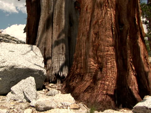 vídeos y material grabado en eventos de stock de cu, tu bare bristlecone pine tree, high country, yosemite national park, california, usa - bare tree