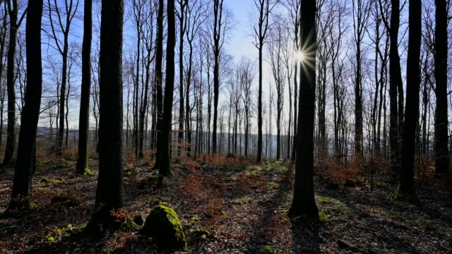 bare deciduous forest in spring with sun, spessart, bavaria, germany - deciduous stock videos & royalty-free footage