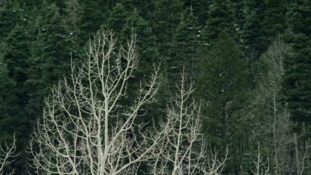 裸木はユーレイ、コロラド州の冬の日にバック グラウンドで松の木が風で吹く - ユアレイ市点の映像素材/bロール