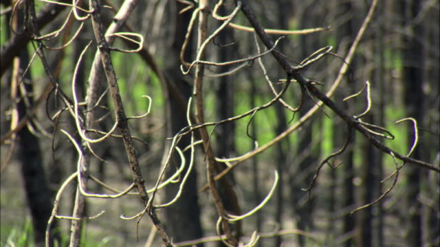 stockvideo's en b-roll-footage met cu bare tree branches in forest / missoula, montana, usa - bare tree