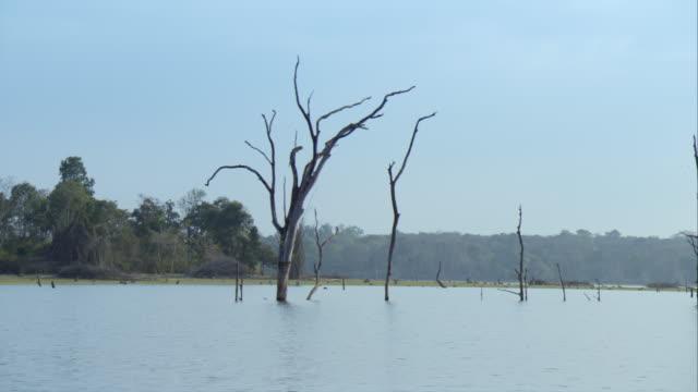 vidéos et rushes de bare tree trunks  in the kabini river - bare tree