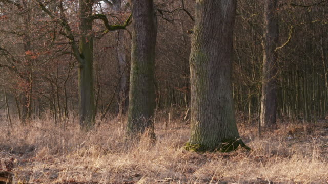 bare trees in forest. - tree trunk stock videos & royalty-free footage