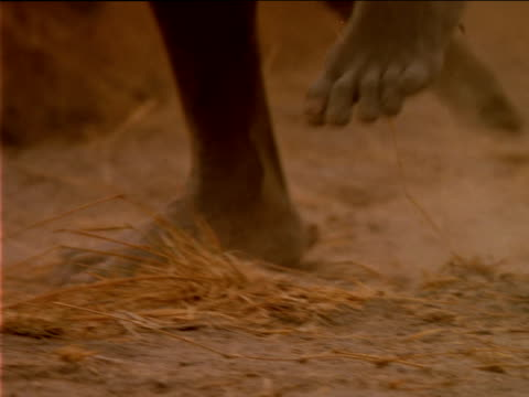 vidéos et rushes de barefoot basarwa tribes person stomping on ground. - barefoot