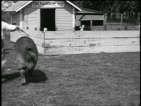 b/w 1920 barefoot farmer guiding huge hog with stick / newsreel - erbivoro video stock e b–roll