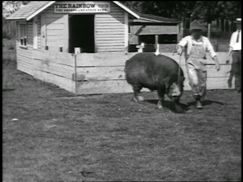 vídeos de stock e filmes b-roll de b/w 1920 barefoot farmer walking with huge hog / newsreel - full length