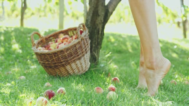 Barefoot woman harvesting fresh,ripe peaches in orchard,slow motion