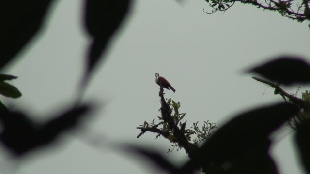 Araponga comum Cantar