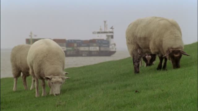 barge on elbe river behind grazing sheep. - sheep stock videos & royalty-free footage