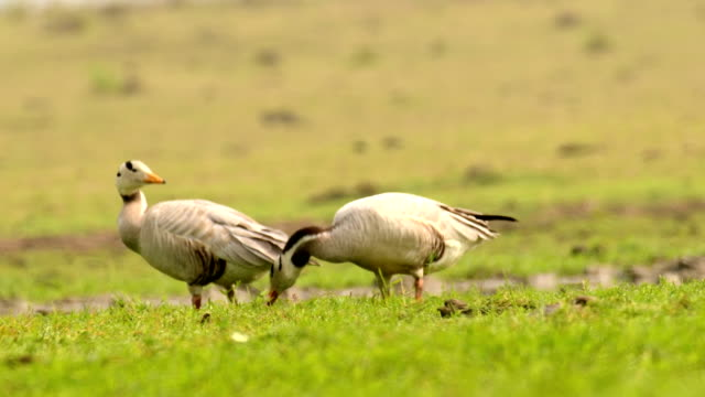 stockvideo's en b-roll-footage met bar-headed ganzen voederen op gras en preening zelf - documentairebeeld