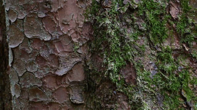 bark of a pine tree - plant bark stock videos and b-roll footage