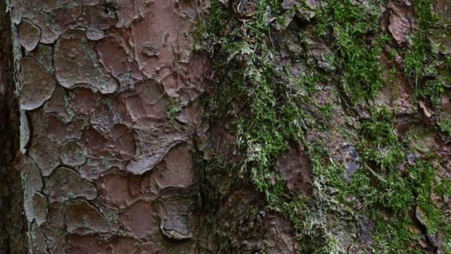 vídeos de stock, filmes e b-roll de bark of a pine tree - casca de árvore