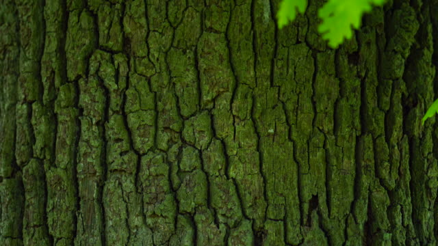 bark of a quercus robur, commonly known as pedunculate oak or english oak, oak - roble albar, cantabrian sea, liendo, cantabria, spain, europe - plant bark stock videos & royalty-free footage