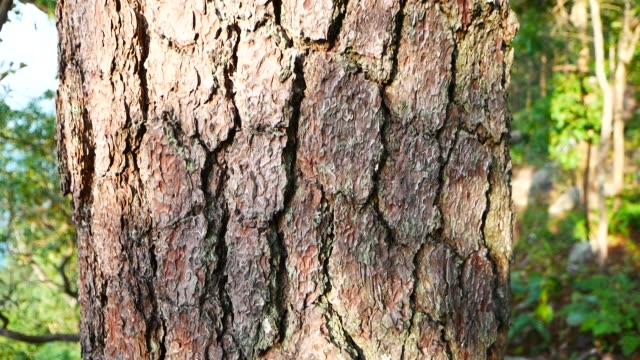 bark pine tree - tree trunk stock videos & royalty-free footage