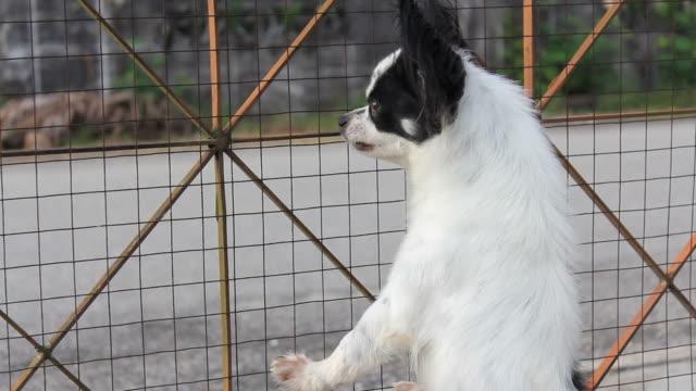 vídeos de stock, filmes e b-roll de o barking chihuahua - latindo