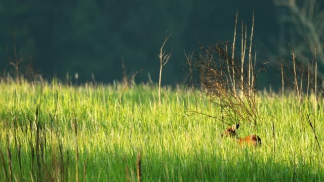 barking deer in the meadow at morning, nature background - femmina di daino video stock e b–roll