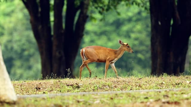vídeos de stock e filmes b-roll de barking deer walking in the forest, slow motion - veado