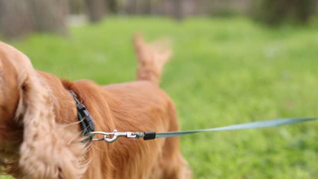 屋外のリードに吠える犬 - 突き出た鼻点の映像素材/bロール