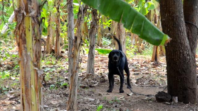 vídeos de stock e filmes b-roll de ฺฺฺฺฺbarking cão de guarda - trela de animal de estimação