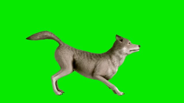 Barking Wolf Green Screen (Loopable)