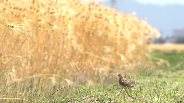 barley and early summer in fukui - wheat stock videos & royalty-free footage