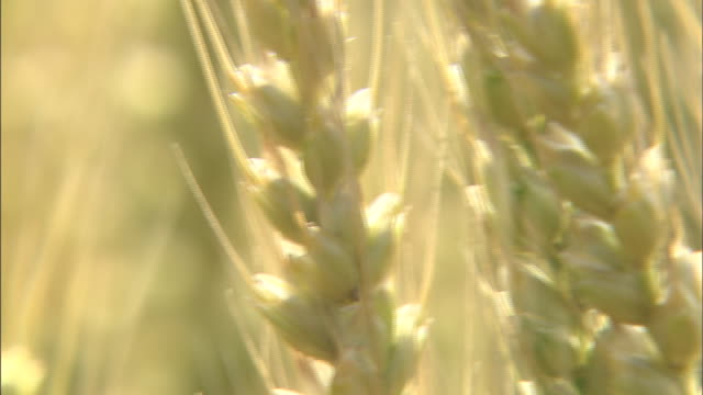 barley: close shot - barley stock videos and b-roll footage