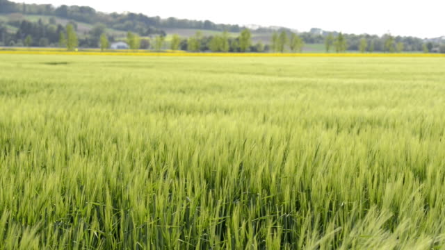 barley corn swaying in the wind hd - monoculture stock videos & royalty-free footage