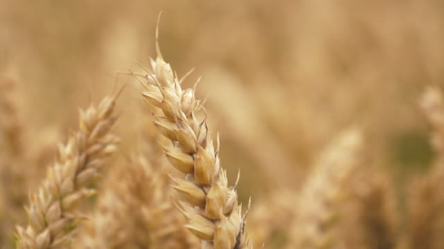 barley crop field in close up - wheat stock videos and b-roll footage