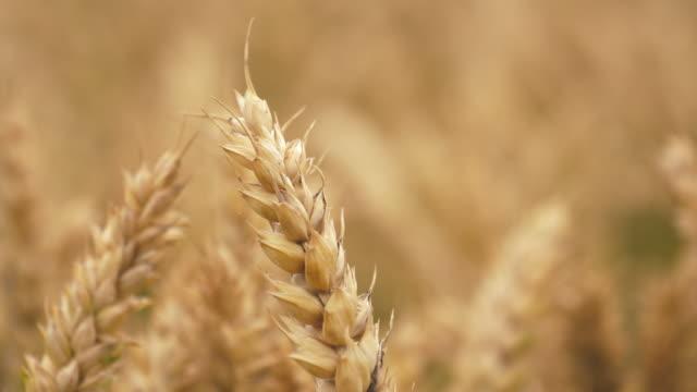 大麦の作物を閉じるのフィールド - 穀物 ライムギ点の映像素材/bロール