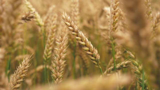 Gerst veld in nauwe opduiken