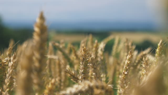 barley crop field in close up - cereal plant stock videos & royalty-free footage