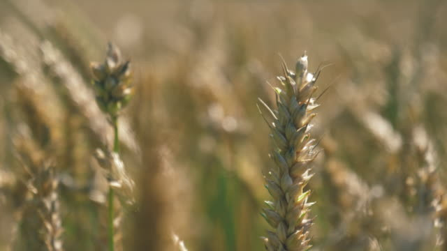 barley crop field in close up - bread stock videos and b-roll footage