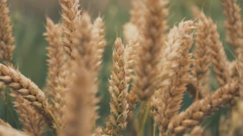 vídeos y material grabado en eventos de stock de cebada surgen campo en estrecha - tostada