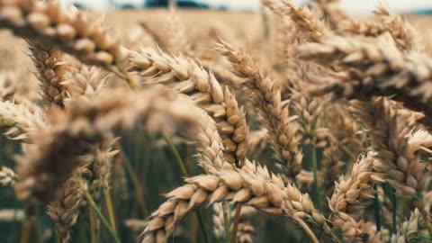barley crop field in close up - bread stock videos & royalty-free footage