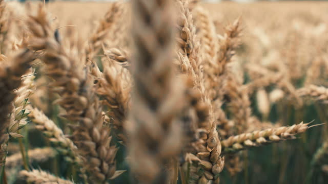 barley crop field in close up - cereal plant stock videos and b-roll footage