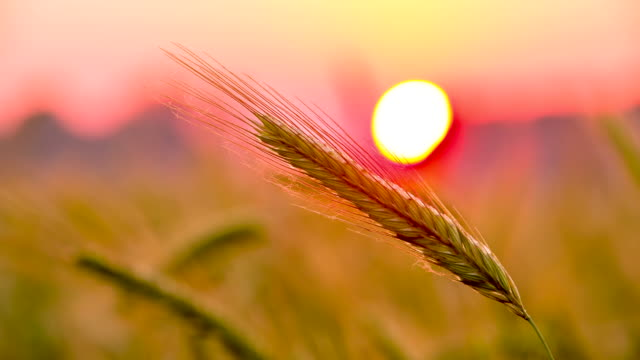 cu ds barley ear at sunset - barley stock videos and b-roll footage