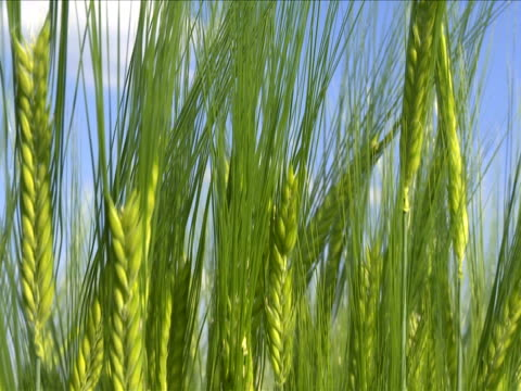 crane barley ears against blue sky - crane shot stock videos & royalty-free footage