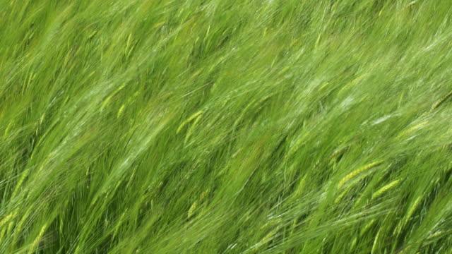 Barley field close-up.4K